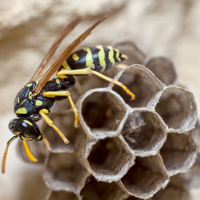 Maple Bugs Control In Regina Saskatoon Safetech Pest